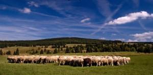 ovečky pod Blatenským vrchem