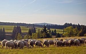 ovečky, v dáli  Auersberg